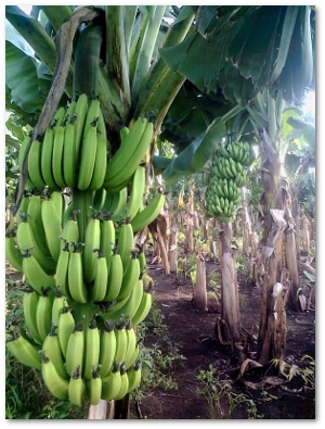 Potassium in the soil, then in the plants, then in the bananas, and then in us!  Abhijeet