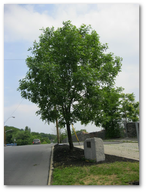 An Eisenhower ash in Cohoes, New York, serves as a World War II.  This tree is one of thousands cultivated from seeds of a green ash growing at President Eisenhower's birthplace in Denison, Texas.