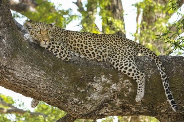 leopard-518210_640 (1)