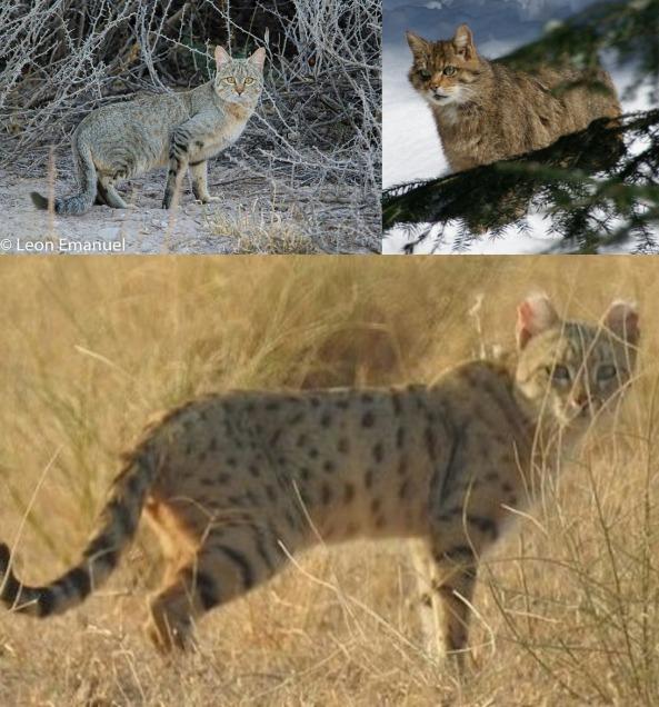wildcat threefer