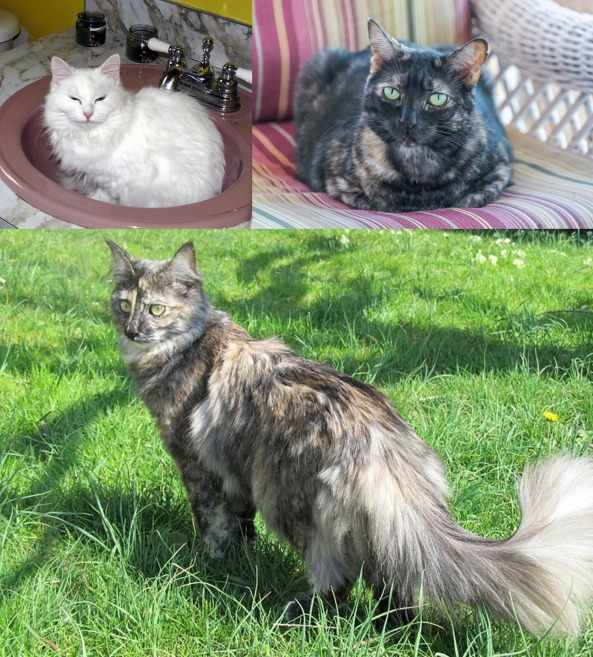 Angora tortie threefer