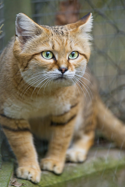 Feature sand cat old