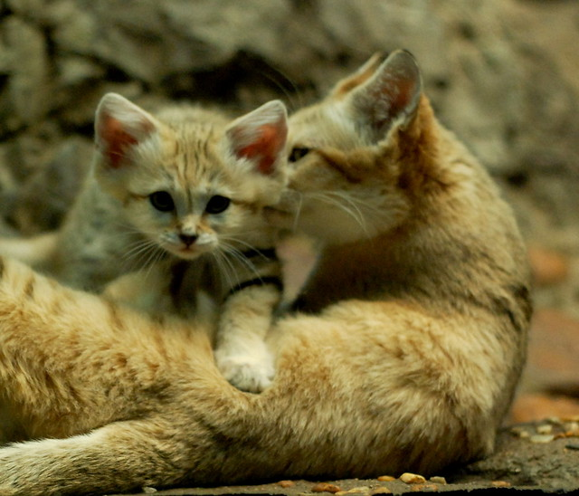 sand cat kitten and mom